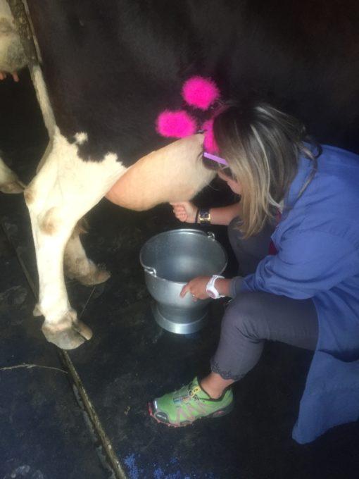 milk a cow verbier